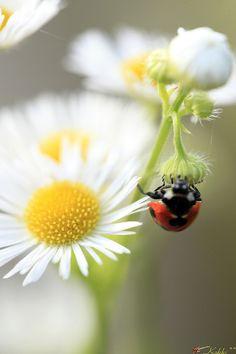 Ladybug  by Kakki on flickr