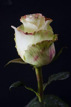 AUBADE -    99  Eden Roses Ecuador
