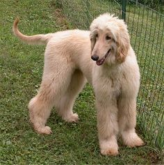 Afghan Hound Pictures along with bios on the dogs, page Hound Dog Breeds, Hound Puppies, Dogs And Puppies, Doggies, Afghan Hound Puppy, Dog Breeds Pictures, Tallest Dog, Happy Dogs, Large Dogs