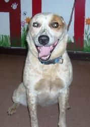 Ruby is an adoptable Australian Cattle Dog (Blue Heeler) Dog in Kenton, OH. Contact us for more information. Hardin County Dog Shelter. 419-674-2209.....