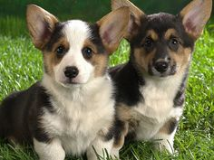 precious corgi pups!