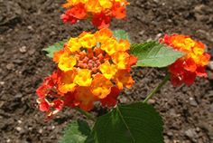 click to read article and see photos  re: top 10 anti-pollutant houseplants (...one of them pictured Lantana camara)