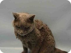 Brooklyn, NY - Domestic Shorthair. Meet ROXY, a cat for adoption. http://www.adoptapet.com/pet/13832775-brooklyn-new-york-cat