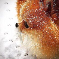 Let it snowlet it snowlet it snow by monique_ginger #pomeranian