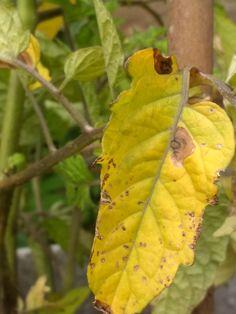 Les plants de tomate qui jaunissent ? – Cultive mon jardin  Mildiou et maladies de jardin. Le plant de tomate
