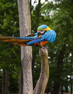 """""""Blue And Gold Macaw Grooming Itself"""" by fellow artist/photographer Chris Flees"""