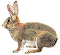 králik divý (Oryctolagus cuniculus)