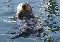 ...  because of nuclear tests in Alaska, 89 sea otters were relocated to the west coast of Vancouver Island between 1969 and 1972. Description from marineecotours.com. I searched for this on bing.com/images