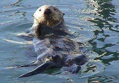 Sea Otter Vancouver Island