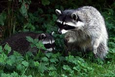 Raccoons, could they be cuter