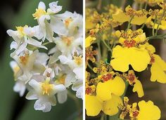 """Oncidium Twinckle """"Fraganci Fantasy"""" e Oncidium Aloha ou chuva-de-ouro (Foto: Evelyn Müller)"""