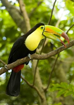 Keel-billed toucan--the bill has the same functions as the bill of the toco toucan, but adds some rainbow colors in splashy patterns.