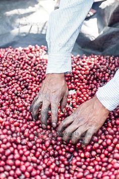 Cosecha de granos de café