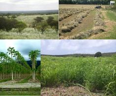 All over the world, marginal lands allow different approaches for sustainable feedstock production without disruption of food systems. Photo: Above margianl sides of productive fields in South America. Below: tropical agriculture with papaya in agroforestry systems and Guinea grass in low productive areas of sugarcane.