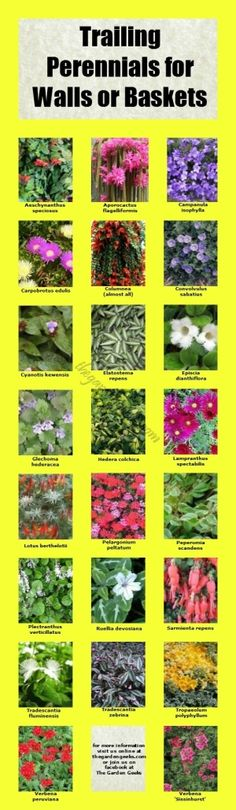 Trailing Perennials for Walls and Baskets | thegardengeeks by PearForTheTeacher