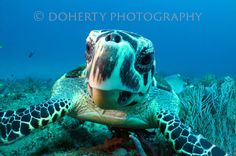 Hawksbill Sea Turtle Jupiter, Florida *Different sizes have been cropped from…