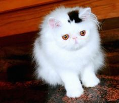 Ces chats qui se font remarquer avec leurs tâches inhabituelles