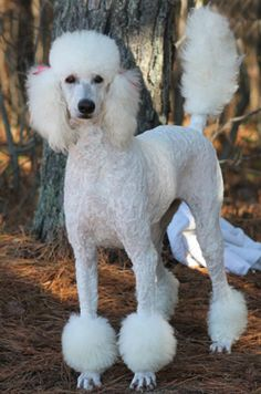 Family Affair Standards Offers Apricot and Cream Standard Poodles and poodle puppies for sale, along with 12 other colors. Standard Poodles For Sale, Poodle Haircut, Poodle Hairstyles, Poodle Puppies For Sale, Poodle Cuts, French Poodles, Dog Toys, Best Dogs, Dog Breeds
