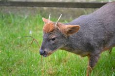 Chilean Pudu (Pudu puda) - The pudús are the world's smallest deer, they inhabit temperate rainforests in South America