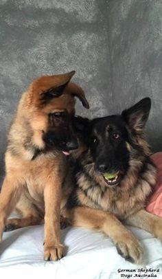 Beautiful German Shepherds!  What to play ball?   LOL