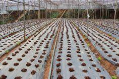 bắp cải tím được trồng trong nhà kính