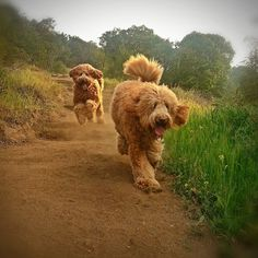 Beau Monde breeding the finest Australian Labradoodles in Riverside California Golden Doodles are great but are Labradoodles better? Beau Monde breeders of California's finest Labradoodle puppies for sale in Phoenix Arizona, New York , Chicago. San Franciscos best Choice for the Finest Australian Labradoodles in Southern California. Beau Monde Labradoodles ships to Europe including the UK , Denmark, and the Netherlands. Beau Monde Labradoodles is San Diego California's first choice for ...