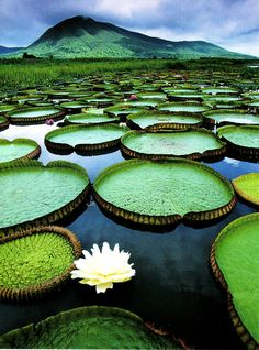 Queen Victoria's water lily (Victoria amazonica) in Pantanal Conservation Area, Brazil. The species has very large leaves, up to 3 m in diameter, that float on the water's surface on a submerged stalk, 7–8 m in length. The flowers are up to 40 cm in diameter.