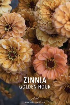 Cut Flower Garden, Flower Farm, Fresh Flowers, Cut Flowers, Zinnia Elegans, Types Of Plants, Zinnias, Flower Seeds, Golden Hour