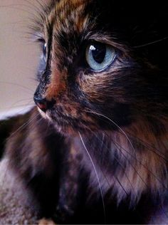 what an awesome picture! I've had torties, but that eye color is so pretty & unique. maybe it's the camera, but that cat is magical.