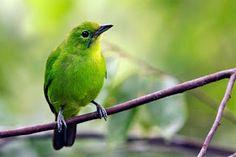 Burung Cucak Hijau Anakan #bird #pets #hewan #peliharaan #fotografi #foto #animals