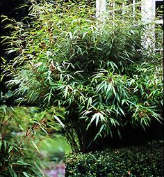 Clustering Bamboo