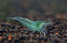 Blue Pearl Shrimp from The Shrimp Farm