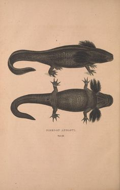 Siredon axolotl. Descriptiones et icones amphibiorum. By Wagler, Johann Georg, 1800-1832. Biodiversity Heritage Library.