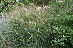 Panicum 'Heavy Metal', Common name: Switch Grass. Full sun, Native plant, deer resistant, salt tolerant and perfect for cut flower arrangements. Garden Soil, Garden Beds, Hibiscus Rosa Sinensis, Full Sun Perennials, Common Names, Drought Tolerant Plants, Ornamental Grasses, Trees And Shrubs, Zinnias