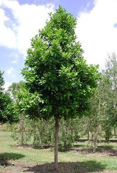 Syzygium oleosum - Blue Lilly Pilly. 6m