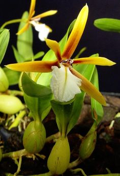 Encyclia polybulbon or The Many Bulbed Encyclia. Found from Mexico to Nicaragua and also in Jamaica and Cuba.