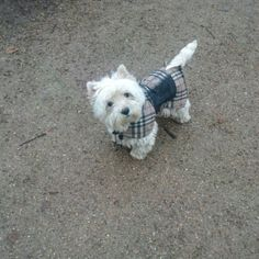 Westie in Burberry  -  What!