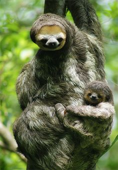They say that their are 5 different types of Sloths in the Rainforest!  :)