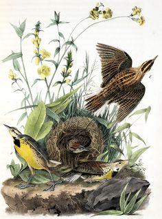 Audubon Western Meadowlark