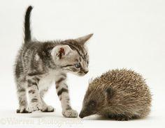 Silver tabby kitten inspecting a Hedgehog