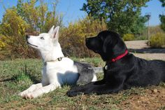 1967 shelby barn find and appraisal that buyer uses to pay widow price revealed duration. Recognized by the american kennel club in Labrador Husky, Labrador Retriever, Shiba Inu Colors, Husky With Blue Eyes, Malamute Husky, Alaskan Husky, Black Lab Puppies, Purebred Dogs, Small Dog Breeds