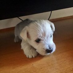 west highland terrier puppies westies