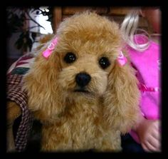 Believe it or not this is a soft sculptured toy poodle but looks like the real thing