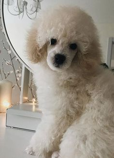 We would like to introduce our best collection of the 71 best dog name ideas for female Poodles. Female Dog Names, Best Dog Names, Pet Names, Best Dogs, Goldendoodle, Poodles, Pets, Diana, Collection