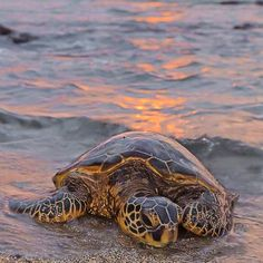 By supporting PIYOGA, you are helping us make our mission to save the sea turtles a reality. We proudly donate 10% of our net profits to sea turtle and ocean conservation projects in Bali and around the world. 🐢🌊 Click the link in our bio to read about our projects and the organizations we work with. You can also find information on becoming more involved with our mission. We love to hear from you! 🙏💕 www.piyogapants.com #piyogapants