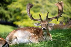 Fallow deer by Gert Lavsen on 500px