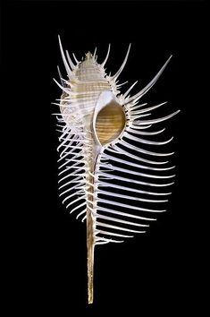 still life quick heart — uncertaintimes: Murex pecten Sea World, Nautilus, Shell Collection, Shell Art, Art Graphique, Patterns In Nature, Ocean Life, Marine Life, Sea Creatures