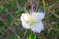 Flowers of the caper plant - Israel