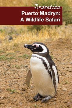 Puerto Madryn, Argentina is the gateway to many natural reserves. One of our favorites is Punta Tombo National Reserve which is a birthing ground for Magellanic penguins. An excellent addition to any Argentina itinerary especially when visiting Puerto Madryn with kids.