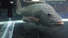 Oreochromis Tanganicae 1